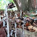 Indian Pipe - Flickr - treegrow (5).jpg