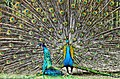 Indian peafowl (Lahore Zoo) by Damn Cruze.jpg