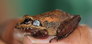 Brown Leaping Frog