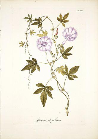 Ipomoea cairica - Image: Ipomoea stipulacea Scharf