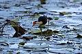 Irediparra gallinacea (24024356763).jpg