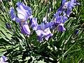 Iris 3 (Poltava Botanical garden).jpg