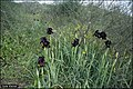Iris atropurpurea IZE 12337.jpg