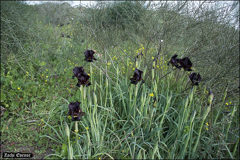 Iris atropurpurea IZE 12337