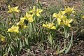 Iris humilis (Sand-Schwertlilie) IMG 8478.JPG