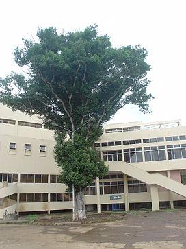 Irvingia malayana.JPG