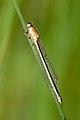 Ischnura elegans 11(loz).jpg