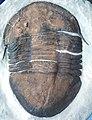 Isotelus maximus fossil trilobite (Upper Ordovician; southwestern Ohio, USA) 1 (15076169569).jpg