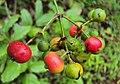 Ixora malabarica fruits 02.JPG