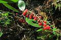 J20150813-0058—Comarostaphylis diversifolia ssp planifolia—RPBG (20476015340).jpg
