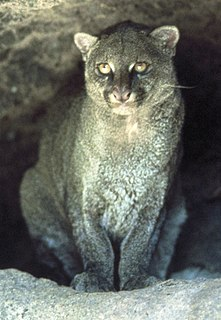 Jaguarundi Small wild cat