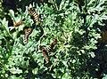 Jakobskrautbär (Raupe) (Thyria jacobaeae).jpg