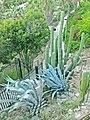 Jardins Mossèn Costa i Llobera, cactus.jpg
