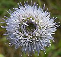 Jasione montana flower.jpg