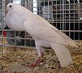 Jielbeaumadier pigeon boulant bruenner agr paris 2013.jpeg