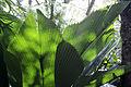 Johannesteijsmannia altifrons (Palmeira-diamante) Inhotim 02.JPG