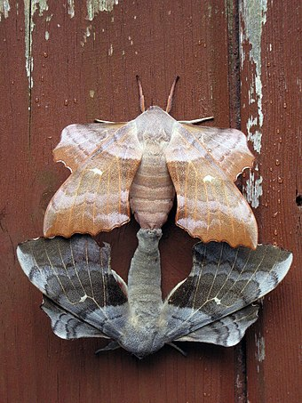 Mating pair of Laothoe populi (poplar hawk-moth) showing two different color variants Joined moths.JPG