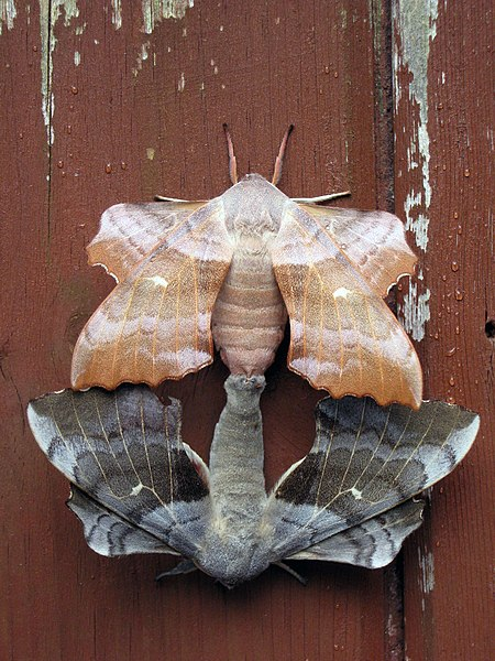 File:Joined moths.JPG