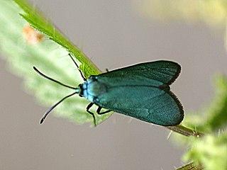 <i>Jordanita globulariae</i> Species of moth