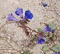 Joshua Tree National Park flowers - Phacelia campanularia - 2.JPG