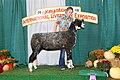 Jr. Show Champion Natural Colored Ewe (44505793994).jpg