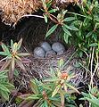 Junco nest loupe.jpg