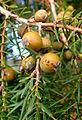Juniperus cedrus kz5.JPG