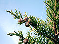Juniperus phoenicea.jpg