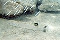 Juvenile french angelfish cleaning great barracuda (4686887326).jpg