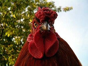 rooster Magyar: kakas