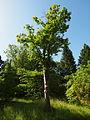 Kaukasischer Ahorn Arboretum Botanischer Garten München.JPG