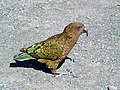 Kea (Nestor notabilis) -on ground-8.jpg