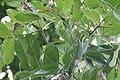 Kigelia africana 42zz.jpg
