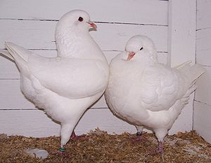 A pair of white King pigeons on display at a s...