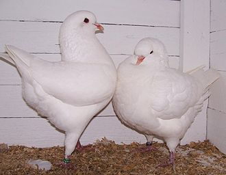 Pigeon keeping - A pair of White Kings