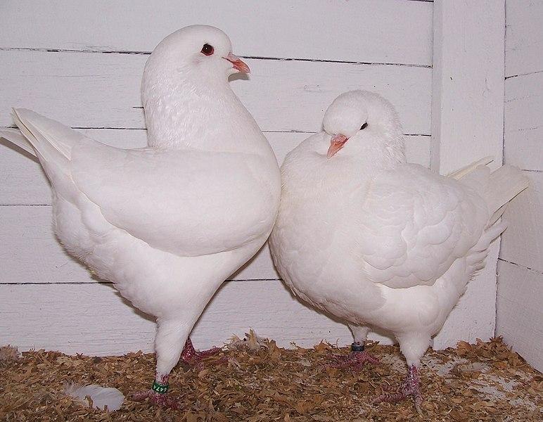 File:King pigeons.jpg