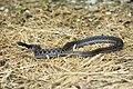 Kirtland's Snake.jpg