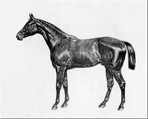 Kisber (horse) - Kisber, contemporary engraving