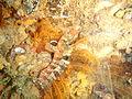 Klipfish at the wreck of the Pietermaritzburg P7260750.JPG