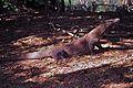 Komodo Dragon Varanus komodoensis (7880812182).jpg
