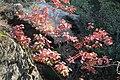 Korina 2015-10-10 Quercus rubra 5.jpg