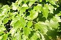 Korina 2017-06-04 Acer tataricum.jpg