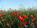 Kwiaty polne - panoramio.jpg