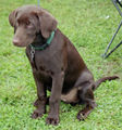 Labrador Retriever (Chocolate Puppy).jpg
