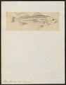 Labrax lineatus - - Print - Iconographia Zoologica - Special Collections University of Amsterdam - UBA01 IZ12900083.tif