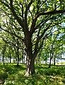 Lake County, Illinois oak woodland.jpg