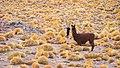 Lama at Atacama Desert.jpg