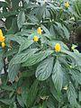 Lamiales - Pachystachys lutea - kew 3.jpg