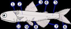 Anatomie externe d'un poisson, le Lampanyctodes hectoris:(1) - opercule , (2) - ligne latérale, (3) - nageoire dorsale, (4) - nageoire adipeuse, (5) - pédoncule caudal, (6) - nageoire caudale, (7) - nageoire anale, (8) - photophores, (9) - nageoires pelviennes, (10) - nageoires pectorales
