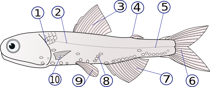 Lampanyctodes hectoris (Hector%27s lanternfish)2.png